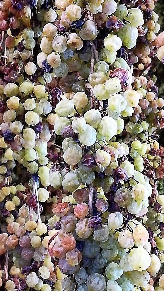 Prima del Torcolato - uva in appassimento