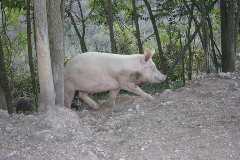 Tenuta Borgo Santa Cecilia, maiale allo stato brado