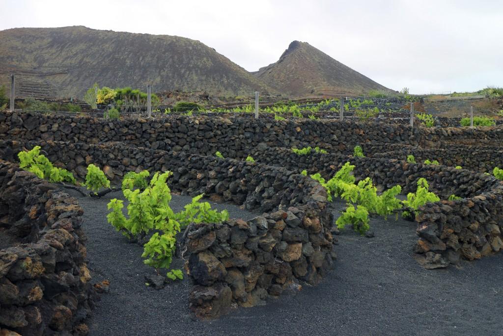 Vigne su suolo vulcanico