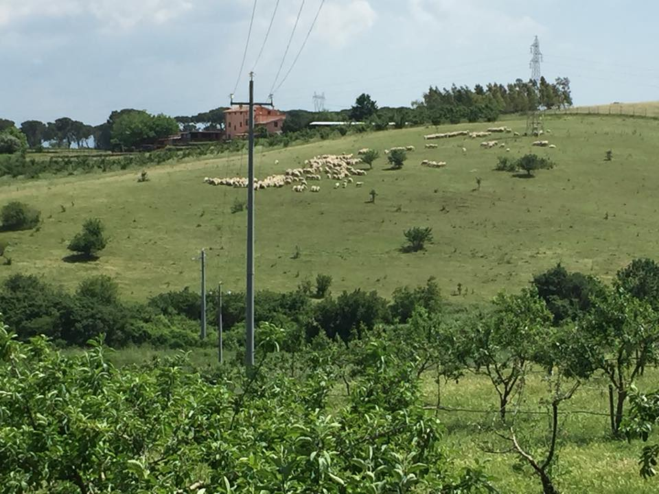 Casali del Pino, le pecore dell'azienda