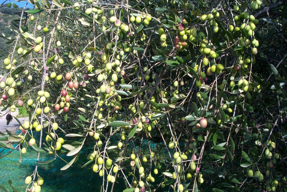 Weekend tra itinerari archeologici -alberi ulivo colline salernitane