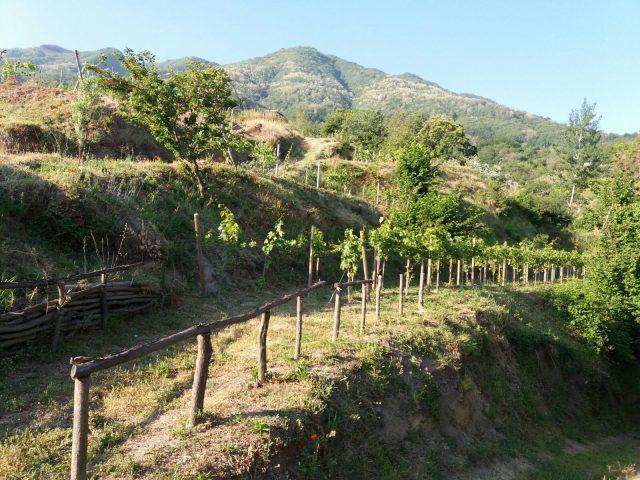 Le viti del Monte Somma