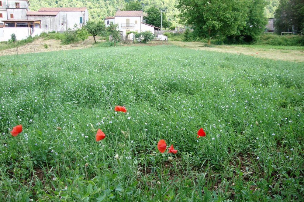 Trattoria La Conca – campo coltivato a cicerchie