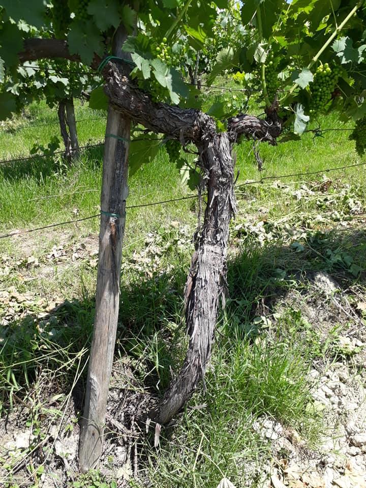 Terranuova - Vigne ultracinquantennali