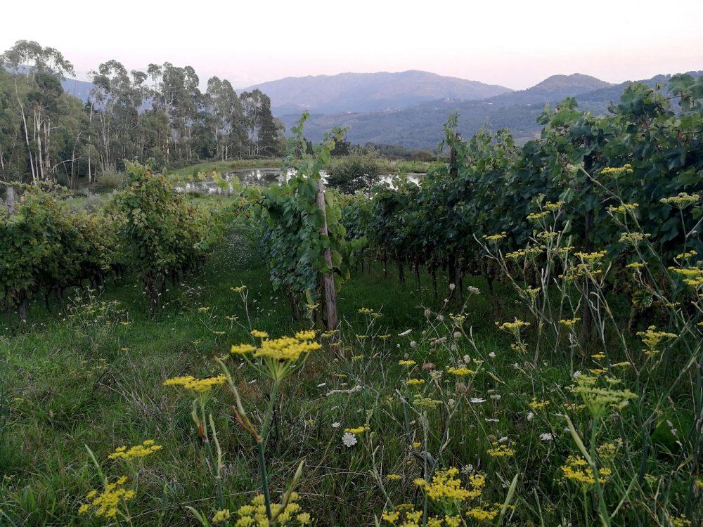 Azienda Agricola Silva Plantarum, la vigna