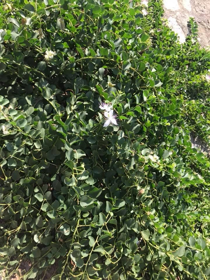 Cicco De Buono, la pianta di capperi