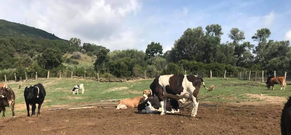 Cicco De Buono, vacche e capre