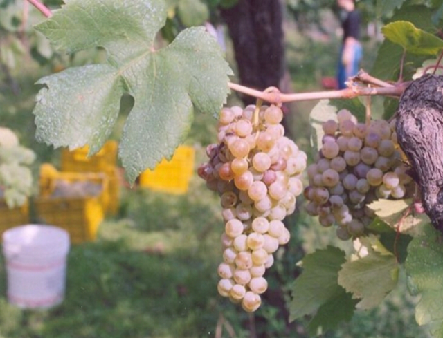 Cantine Guastaferro - Uva Rovello bianco