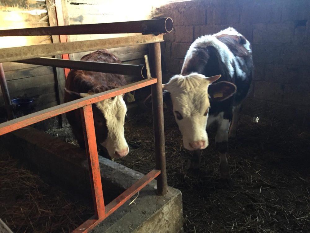 L'Incartata - mucche