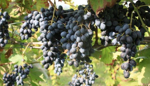 Grappoli di uva camaiola