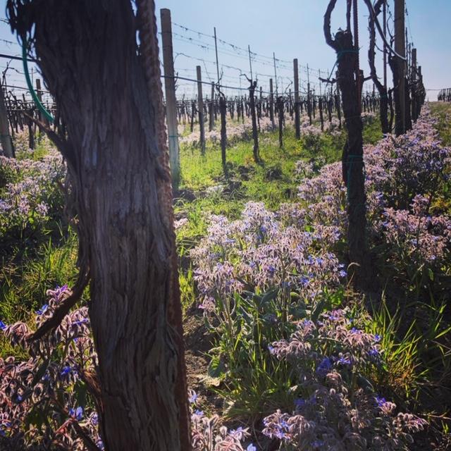 Le vigne in fiore del Sannio