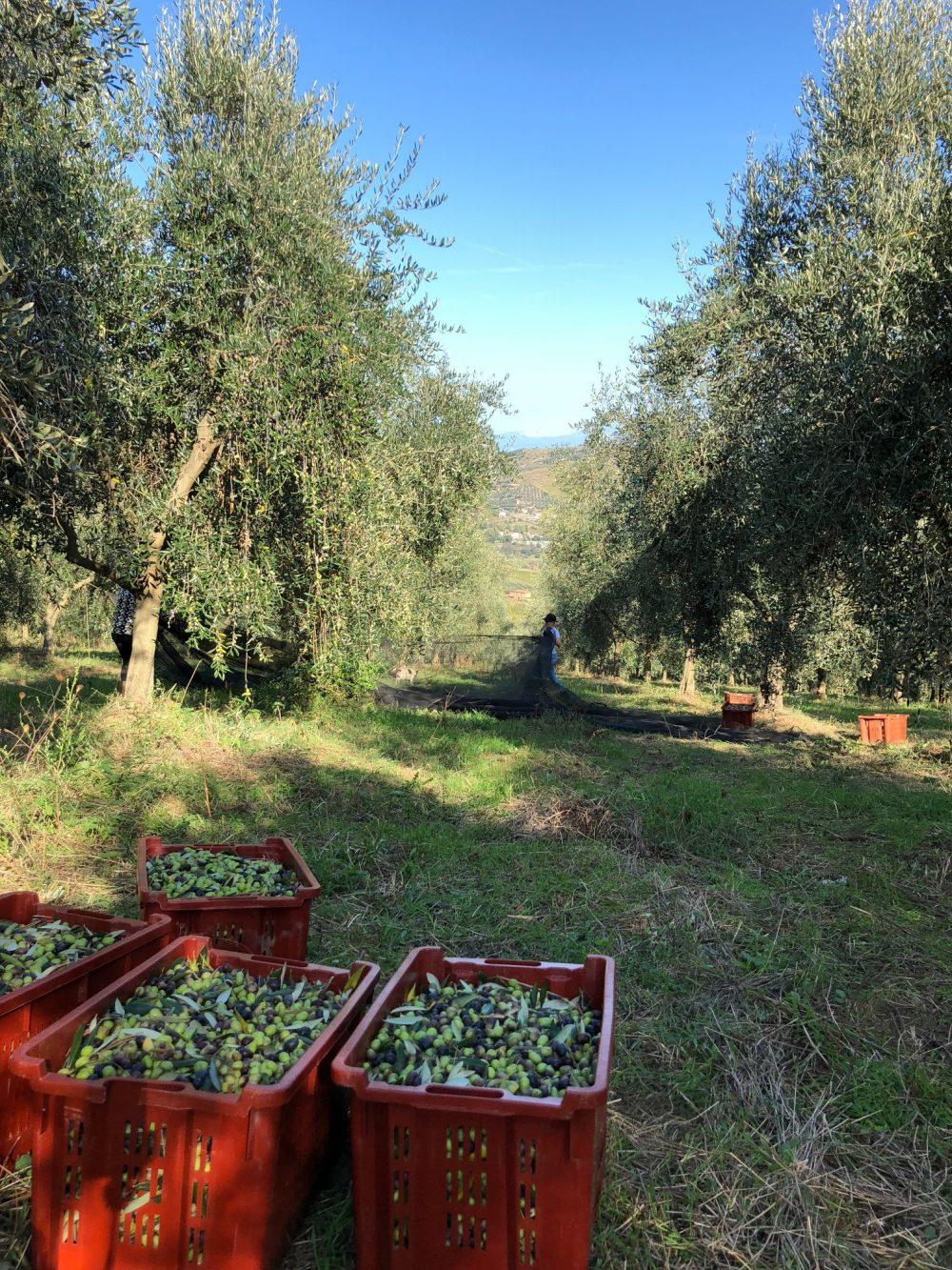 Olivi dell'azienda Agricola Piero Matarazzo