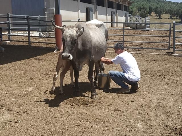 Masseria Paglicci - la mungitura della vacca podolica