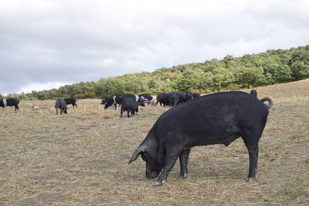 Agrimar - allevamento libero Bioagrimar maiale nero lucano