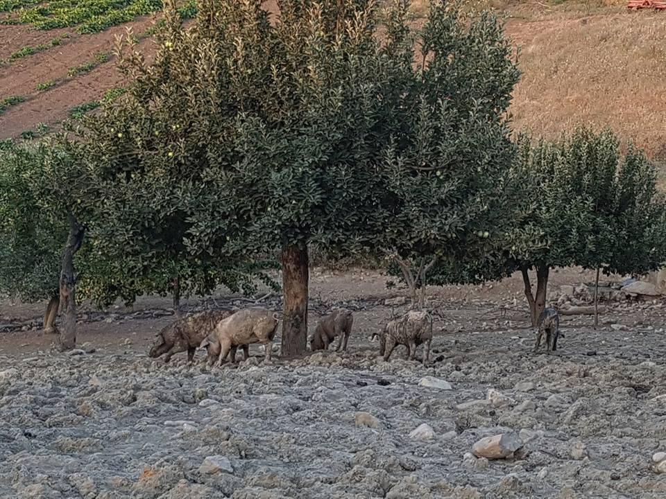 Agrimar-Meticci grufolanti