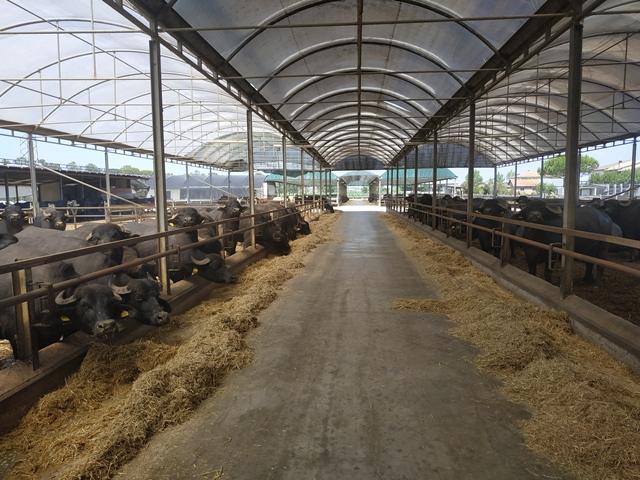 Caseificio Macchiusi - l'allevamento di bufale