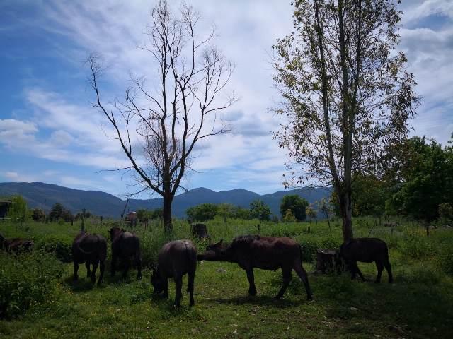 Fattoria Lauretti - bufali al pascolo