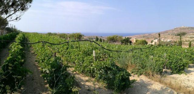 Vigneto di Tal-Massar Winery a Gharb