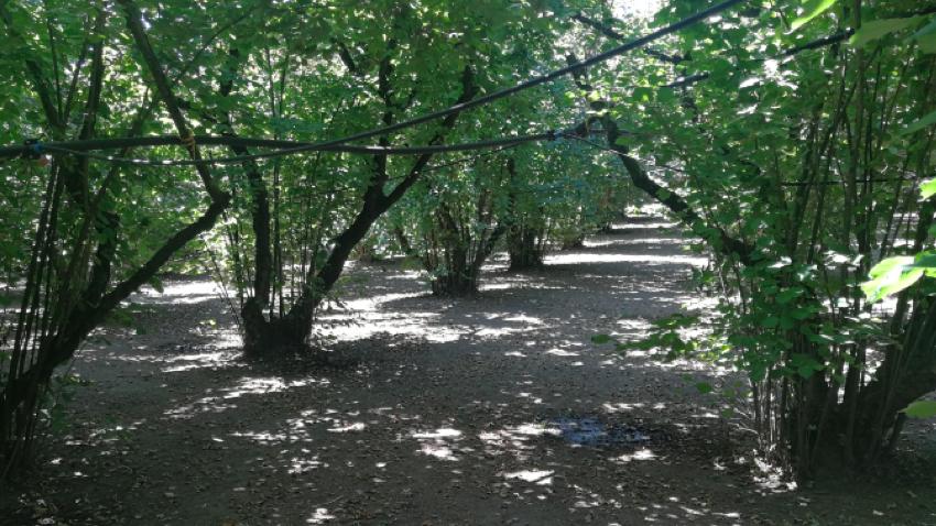 Coltivazione di nocciole in biologico con impianto di irrigazione comandato da sensori di umidita' sul terreno
