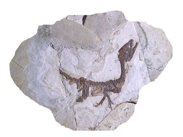 Pietraroja - il fossile di dinosauro 'Ciro'