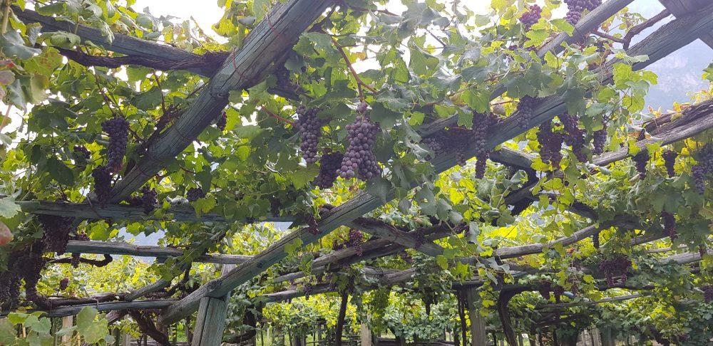 Muraje Carema - vigne