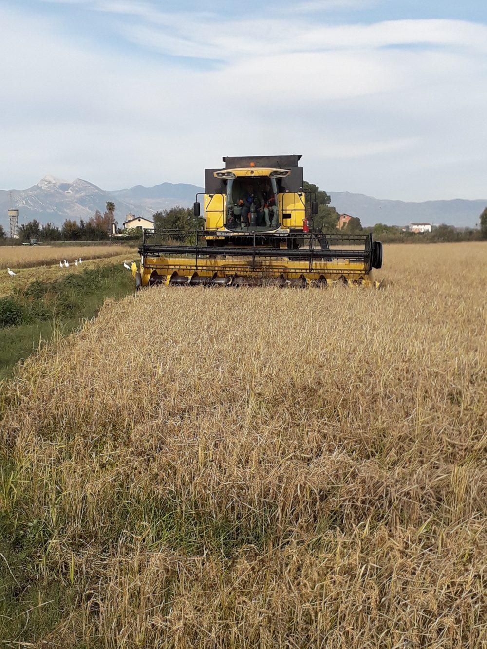 Campo di riso a Sibari