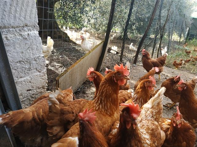 Le galline dell'azienda agricola L'uovo sano