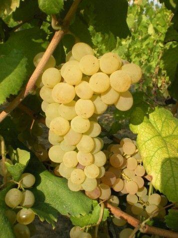 Grappolo di uva agostino/agostinella
