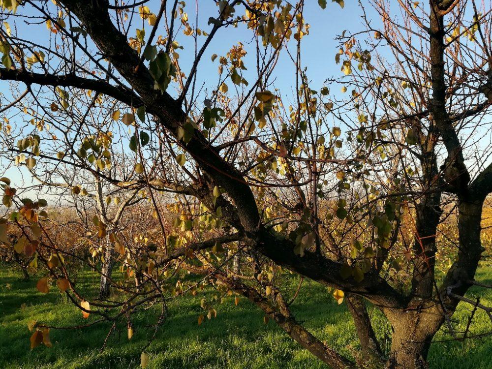 Azienda Agricola Antica Trochlea - Pianta di Albicocca Pellecchiella del Vesuvio