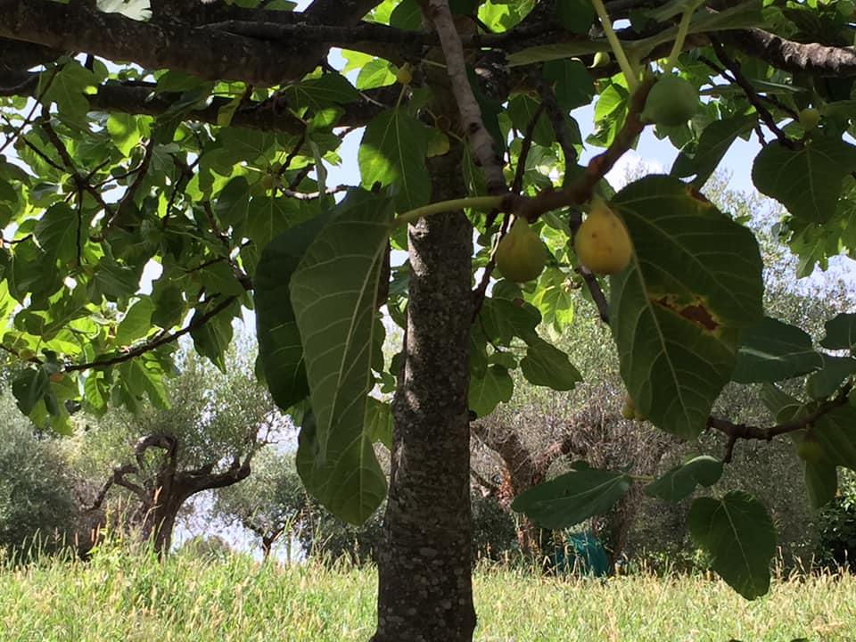 La Chioccia d'Oro, circondati da fichi e olivi