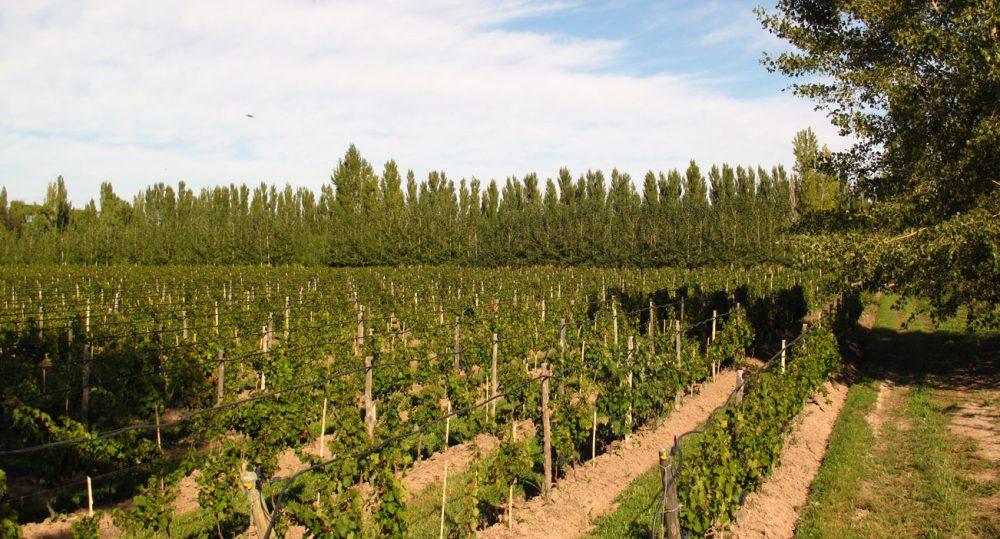 Chacra vigne