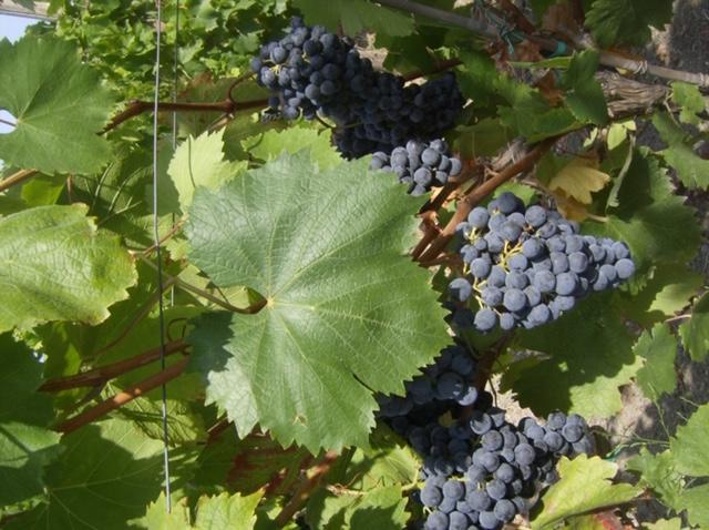 Salvatore Martusciello - uva suppezza che concorre alla produzione del vino Gragnano