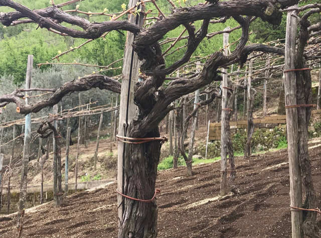 Salvatore Martusciello - viti di piedirosso di 60 anni del vigneto di Sigliano - frazione di Gragnano