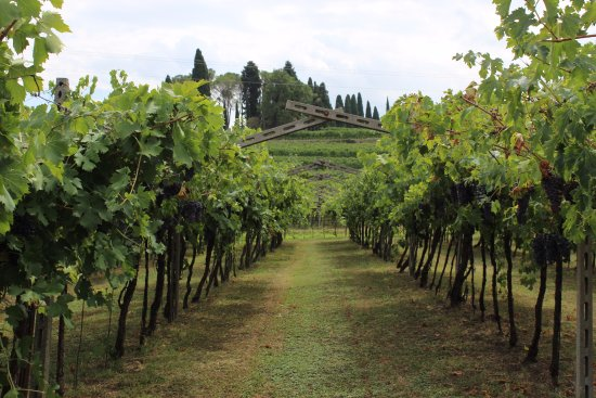 Zardini - vigne