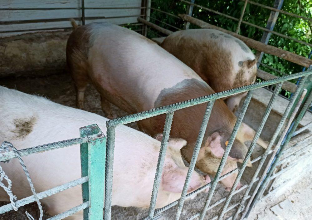 Azienda Agricola Coletta - riunione dei propri maialini