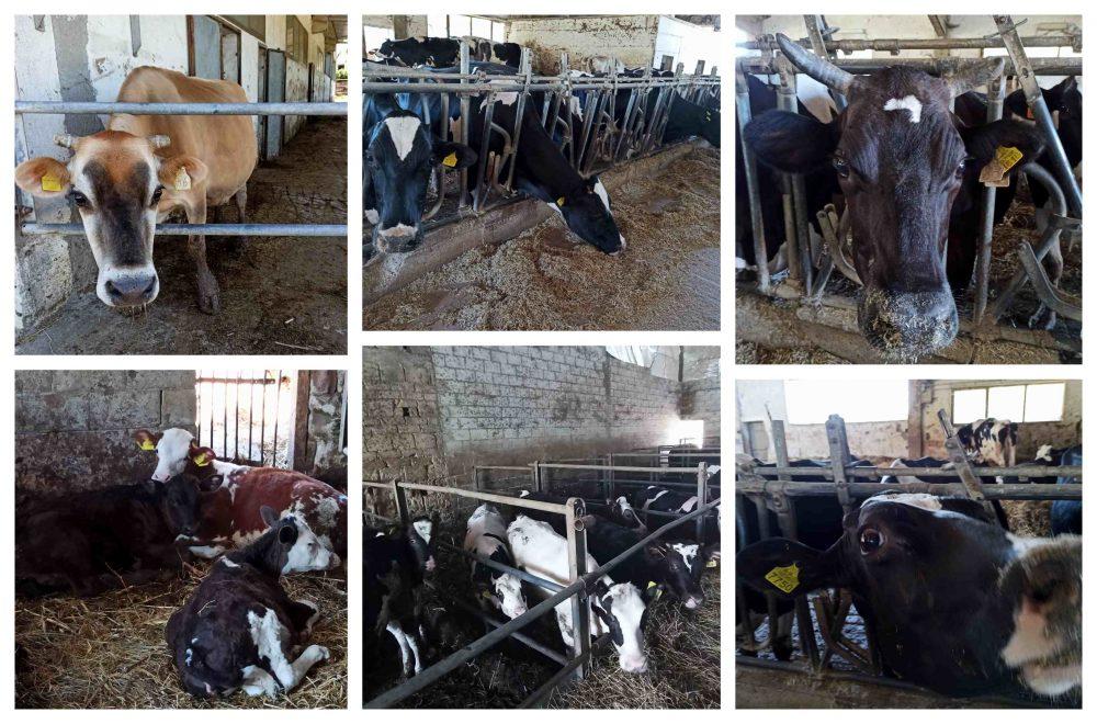 Fattoria La Lola - Vacche e vitelli