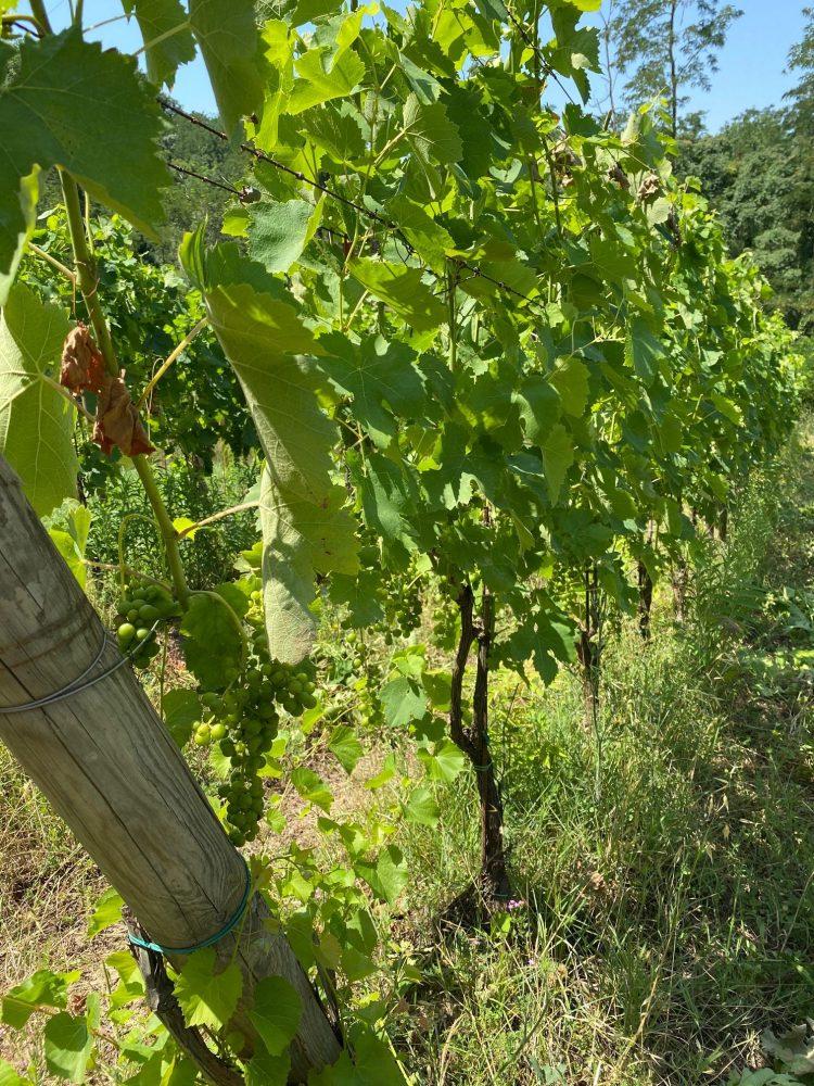 Relais La Pampa - vigne