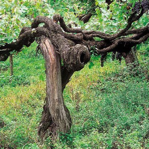 Secolari vigne di aglianico sul Taburno