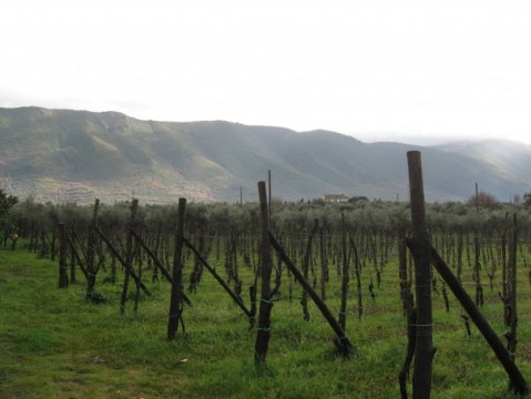 Le vigne del Falerno