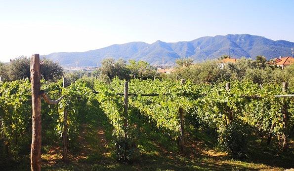 Vigne di Pigato