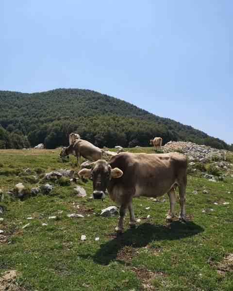 Agricola San Maurizio- le vacche in montagna