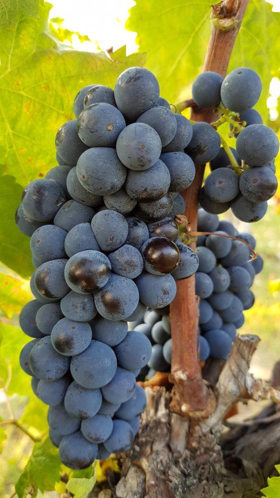 Tenuta di Saragano - uve