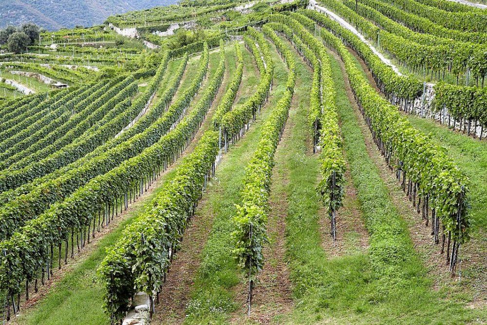 Terre di Leone ed i vini di Marano - Vigneti