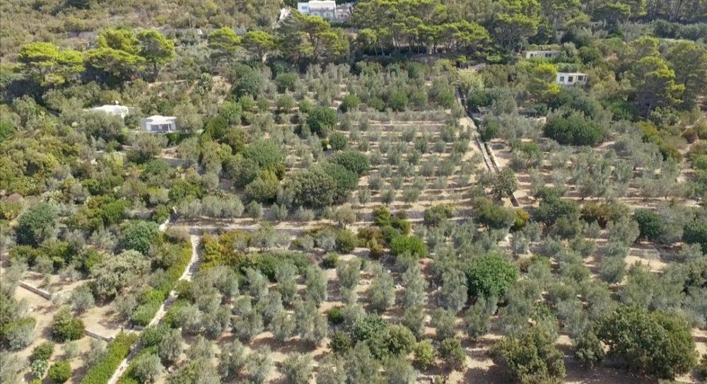 La coltivazione di olivi Oro di Capri, ad Anacapri