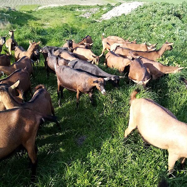 Nelmiocampo - capre