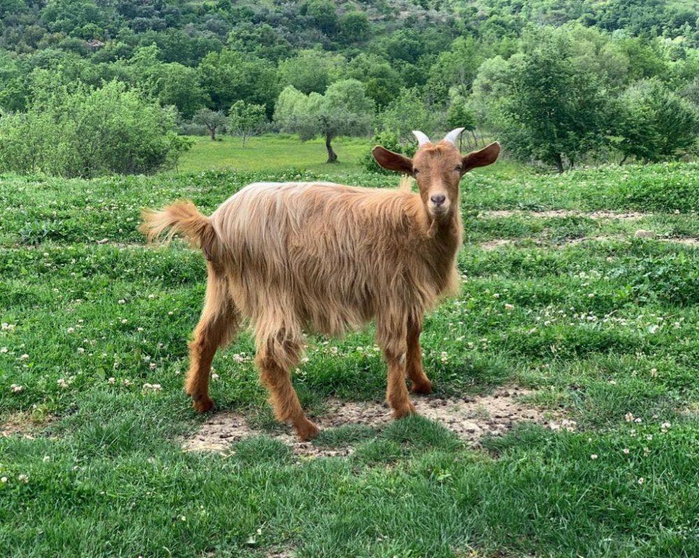 Tenuta Principe - capra fulva