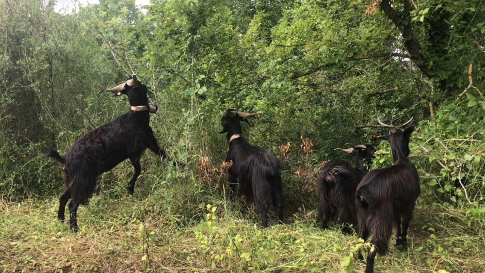 Tenuta Principe - capre nella boscaglia