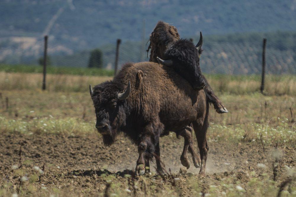 Carni pregiate - bisonti liberi