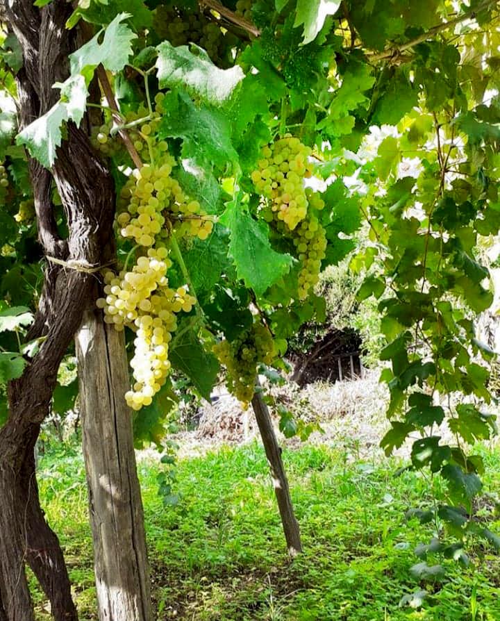Uve bianche di Marucella