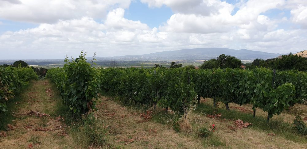 Cincinnato vigne